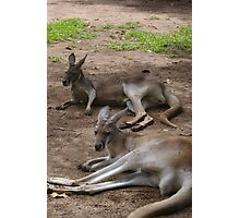 Lazy Roos Photographic Print