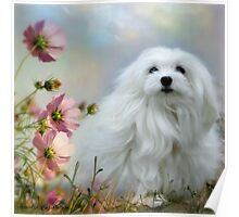 Snowdrop the Maltese - A Soft Summer  Breeze Poster