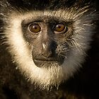 Colobus Monkey by Paul Dean
