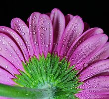 Pink Gerbera Daisy by Dipali S