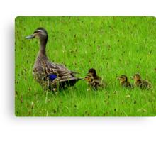 Come on Kids Move Along! - Mallard Ducks - NZ Canvas Print