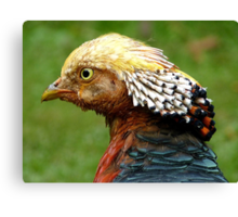 Bob Marley Look Alike! - Golden Pheasant - NZ ** Canvas Print