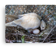 Perfect Beginning - Mother & Child - African Collared Dove - NZ Canvas Print