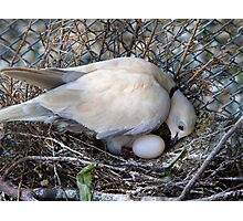 Perfect Beginning - Mother & Child - African Collared Dove - NZ Photographic Print