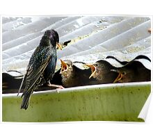 Don't Talk With Your Mouth Full! - Starlings Chicks - NZ Poster
