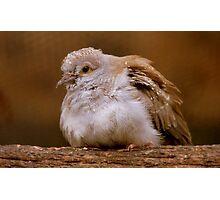 A Diamond In The Rough - Juvenile Diamond Dove - NZ Photographic Print