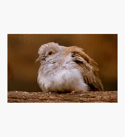 A Diamond In The Rough - Juvenile Diamond Dove - NZ Photographic Print