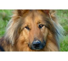 Dreaming Of My Wee Lassie! - Cross Mix Collie Dog - NZ Photographic Print