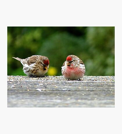 His & Hers! - Redpoll - NZ - Southland Photographic Print