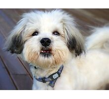 Wow!!!...HOW Many!!...Mojo - Shih tzu Bichon - NZ Photographic Print