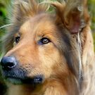 Lassie Come Home! - Cross Collie Dog - NZ by AndreaEL