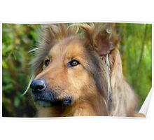 Lassie Come Home! - Cross Collie Dog - NZ Poster