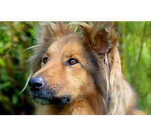 Lassie Come Home! - Cross Collie Dog - NZ Photographic Print