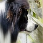 I Keep A Close Watch On These Sheep Of Mine... Border Collie - NZ by AndreaEL