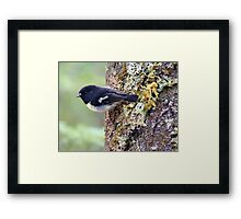I'm The Scout For Today... Tomtit - NZ Framed Print