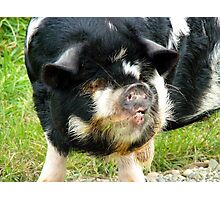This Little Piggy Had Roast Beef!!! - Pig - NZ Photographic Print