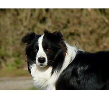 I Herd... The Word Sheep!!... - Border Collie - NZ Photographic Print