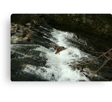 flying duck over water Canvas Print