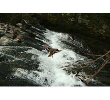 flying duck over water Photographic Print