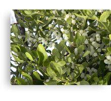 Mistletoe With Berries Canvas Print