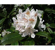 Delicate Rhododendron Blossoms Photographic Print