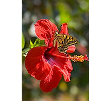 Old World Swallowtail (Papilio machaon) Butterfly  Photographic Print