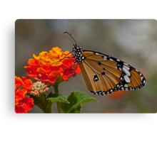 Plain Tiger AKA African Monarch Butterfly Canvas Print