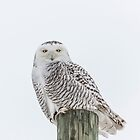 Snowy Owl 2014 1 by Thomas Young