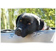 Black Beauty's Got Nothing On Me Mate!!...Black Labrador - NZ Dog Poster