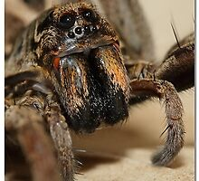 Wolf spider facial closeup by dpastern