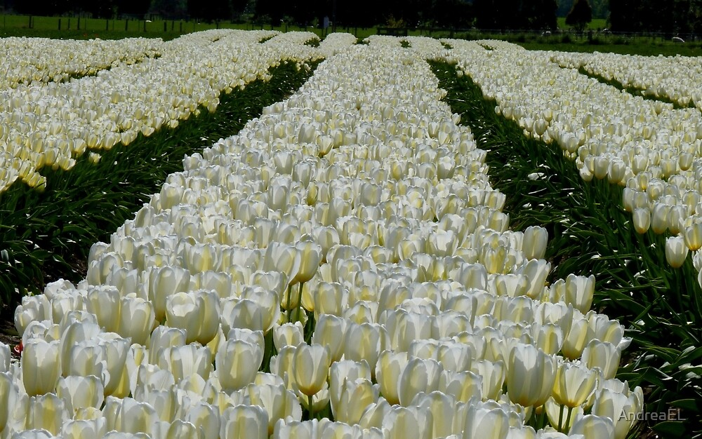 White Velvet Rows! - Tulip Plantation - NZ by AndreaEL