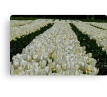 White Velvet Rows! - Tulip Plantation - NZ Canvas Print