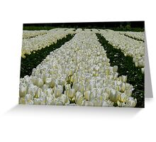 White Velvet Rows! - Tulip Plantation - NZ Greeting Card
