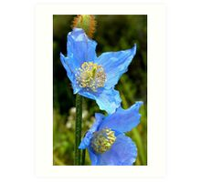 The Colour of Sky! - Himalayan Poppy - NZ Art Print