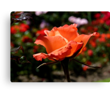 A Single Rose Just For You! - NZ - Southland Canvas Print