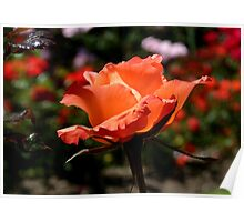 A Single Rose Just For You! - NZ - Southland Poster