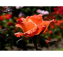 A Single Rose Just For You! - NZ - Southland Photographic Print