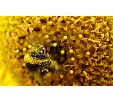 Bombus In A Sea Of Pollen! - Bumblebee On Sunflower - NZn Photographic Print