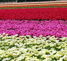 Vivid Streaks - Tulip Plantation - Southland by AndreaEL