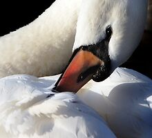 Swan preening by Lucy Hollis
