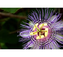 Passion Flower.  Haulover Canal, Florida. Photographic Print