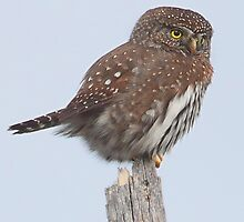 Northern Pygmy Owl by Carl Olsen