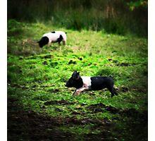 Little Pig's Photographic Print