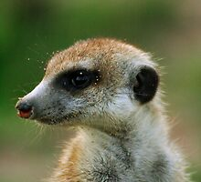 Meerkat close up! by FrankSolomon