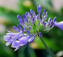 Agapanthus in Summer by Lozzar Flowers & Art