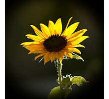 Backlit Sunflower Photographic Print