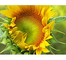 Sunflowers. When i was young. Photographic Print