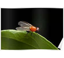 Vinegar Fly Poster