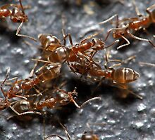 Meat Ants by Colin  Ewington