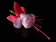 Fuchsia IV by Tom Newman